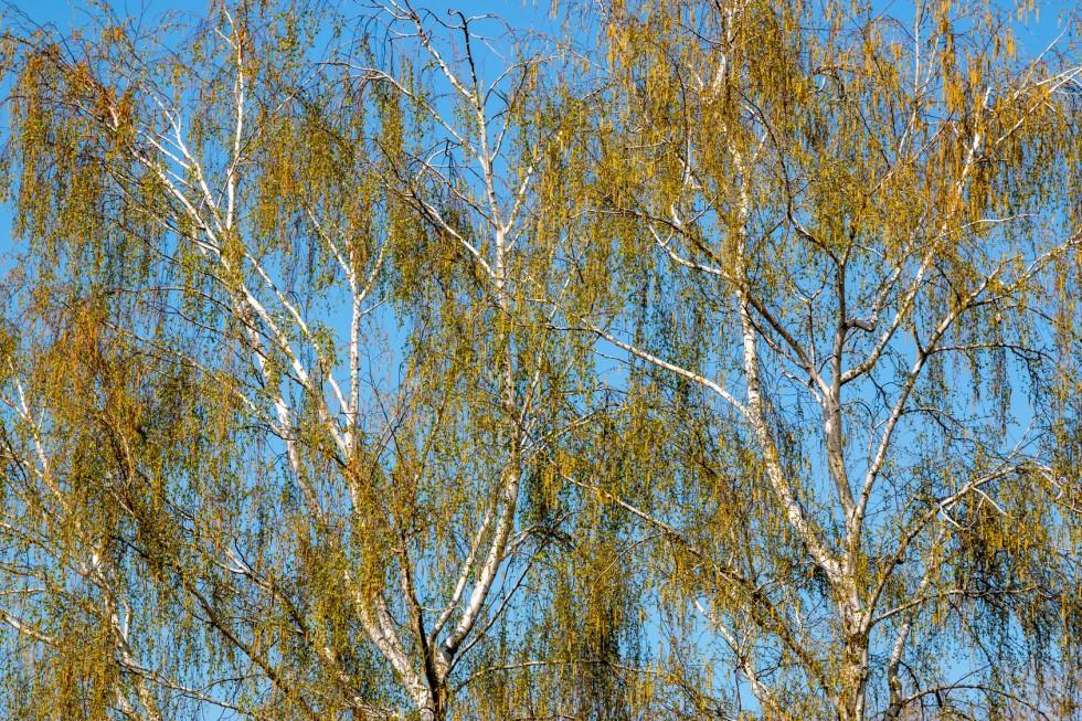 Pyłek brzozy- najczęstsza przyczyna występowania alergii wziewnych w Polsce.